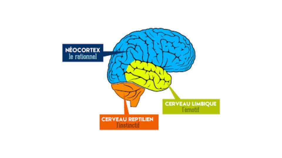 Emplacement du cerveau reptilien